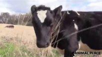 Rescued Calves Explore Pasture: Keegan