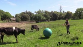 Rescued Calves Play Ball