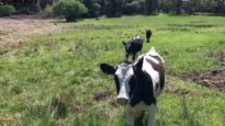 Calves running in for water