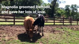 Rescued Cows Become Friends