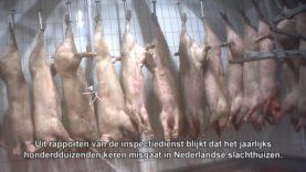 Het gaat flink mis in Nederlandse slachthuizen