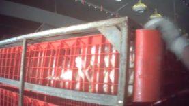 Animal Rights filmt misstanden bij het vangen van vleeskippen