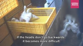 Ducks kicked, grabbed by the throat, trampled and beaten to death