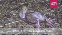 Le duvet, source de cruauté envers les animaux