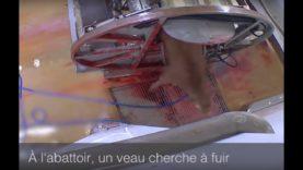 À l'abattoir, un veau s'échappe du tonneau rotatif