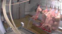Abattoir d'Alès : le gazage des cochons