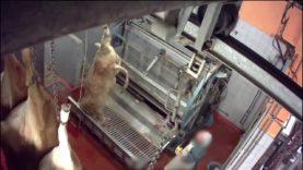 Abattoir Pezenas – Mise à mort des bovins avec étourdissement