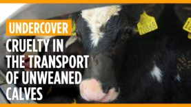 Cruelty in the transport of unweaned calves