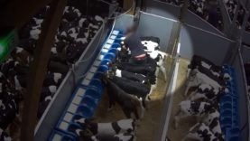 Cruelty on unweaned calves at the control post of Tollevast, France