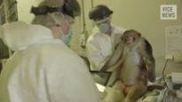 Dentro il più grande laboratorio di test sui primati d'Europa