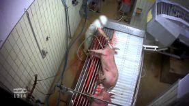 Derrière les murs de l'abattoir de Limoges – les cochons