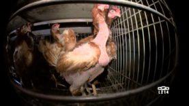 Elevages de poules en cage