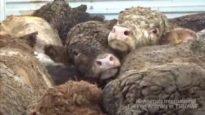 Enquête : des animaux nés en France exportés et abattus au Liban et en Turquie