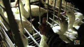 Enquête sur le foie gras de l'Élysée