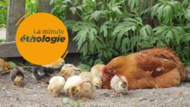 Episode 6 : La prise de décision chez les poules et les poulets