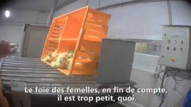 Foie gras : dans l'enfer d'un couvoir