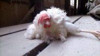 Inside Mahard Egg Farm, Inc.: A PETA Eyewitness Investigation