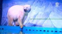 La disperazione dell'orso polare che vive in un centro commerc...