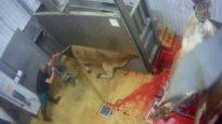 La mise à mort des bovins à l'abattoir de Boischaut