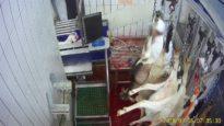 La mise à mort des chèvres à l'abattoir du Boischaut