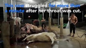 New Footage Reveals Even More Shocking Abuse Inside Cambodia's Meat And Leather Industry