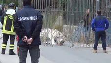 Palermo – Tigre fugge dal Circo – La cattura