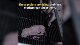 Piglets Suffer Out of Reach of Their Distraught Mothers at Canadian Pig Farm
