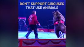These Bears in the Circus Live in Constant State of Fear