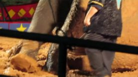 This Elephant Was Forced to Perform in Mud at Loomis Bros. Circus
