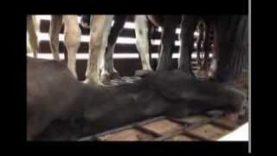 Viande de cheval : enquête au Far West