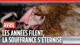 Groupe Avril : 5 ans d'enquêtes dans des élevages en cage de poules pondeuses