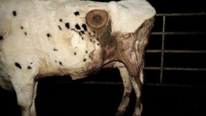 Les vaches à hublot chez Sanders, filiale du groupe Avril