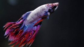 The True Cost of Selling Betta Fish: Filth, Sickness, and Death at Petco