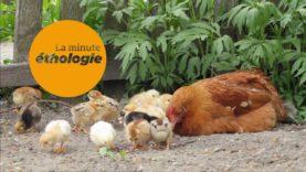 Episode 2 : La communication chez les poules et les poulets