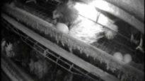New England Egg Farm Investigation