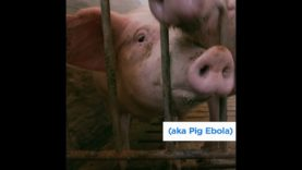 """""""Pig Ebola"""" Is the Biggest Animal Disease Outbreak the World Has Ever Seen"""