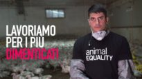 57.000 MORTI OGNI ORA: la tragedia dei polli in Italia