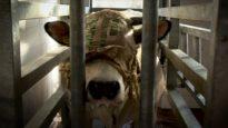 Animal Equality Investigation Inside Italian Cow Slaughterhouses