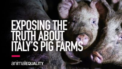 Animal Equality Investigation Reveals Truth Behind Italy's Pig Farms