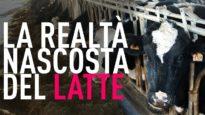 Animal Equality svela la realtà nascosta dall'industria del latte