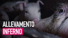 ⚠️ Crudeltà nascoste - Vivere e morire in un allevamento di maiali in Italia