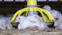 Cruelty at McDonald's Chicken Supplier Moy Park
