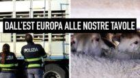 Dall'Est Europa alle tavole degli Italiani: il trasporto illegale degli agnelli