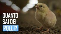 I polli vogliono vivere lontano dalla sofferenza degli allevamenti!