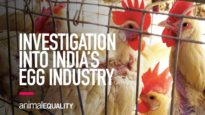 Investigation Into India's Egg Industry
