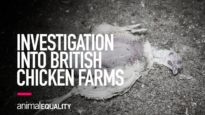INVESTIGATION: Suffering, Abuse and Cannibalism Filmed on British Chicken Farms