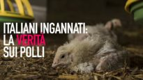 Italiani ingannati: la realtà nascosta dell'industria dei polli