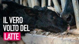 La crudeltà dell'industria del latte