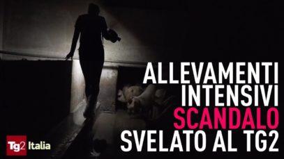 Le terrificanti immagini degli allevamenti intensivi in diretta su Tg2 Italia