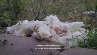 Life Inside A Cage – Mexico Investigation Inside Egg Farm (2018)